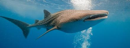 Whale-Shark-Homepage