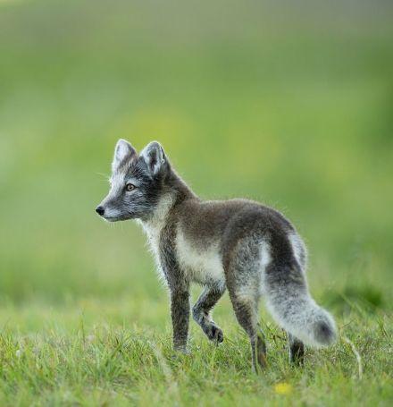 337becc5129f45709568fa2a504ce90e--fantastic-mr-fox-arctic-fox
